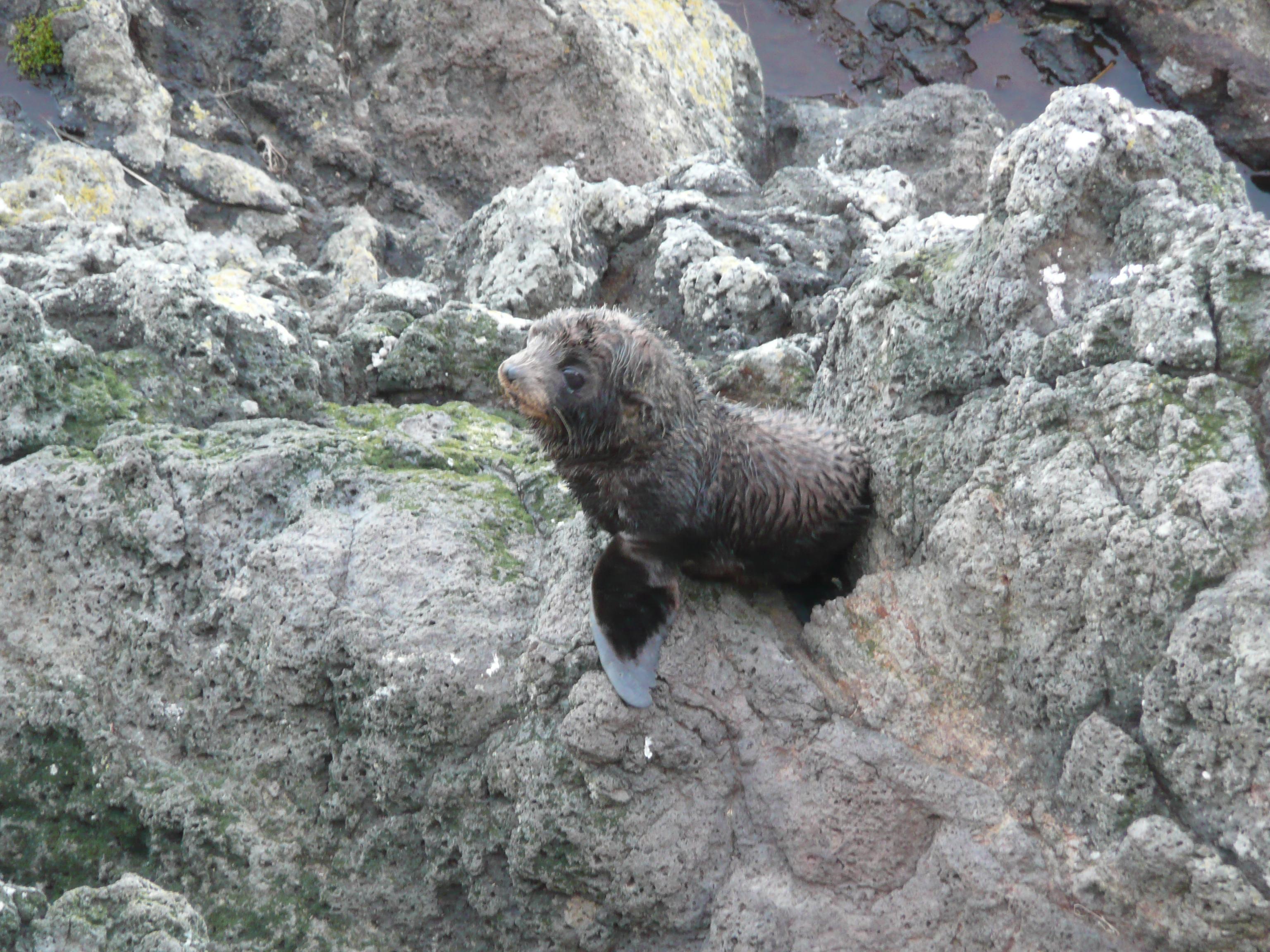 Fur Seal-Baby